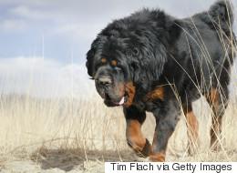 Θιβετιανό Μαστίφ: Η αρχαιότερη φυλή σκύλων στον πλανήτη (και η ακριβότερη)