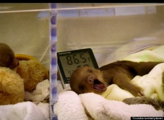 Meet The Sloths Documentary Crawls Over To Animal Planet