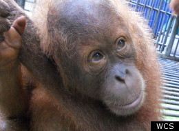 Illegal Orangutan Trade