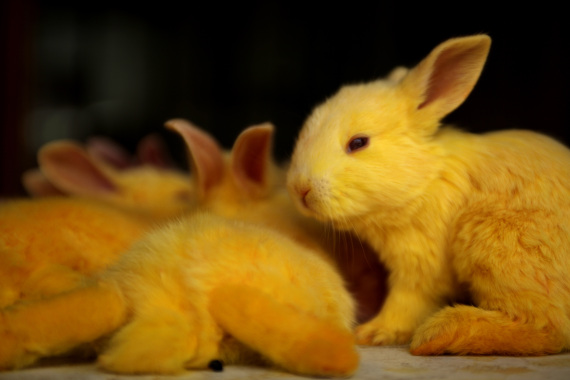 colored rabbits