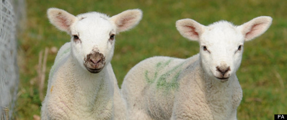 Schmallenberg Virus Farms Lambs