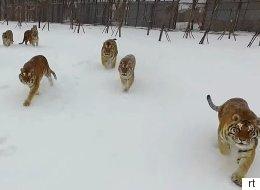 먹이를 사냥하는 호랑이떼의 모습이 드론으로 찍혔다(영상)