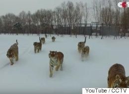 Ce drone s'est approché un peu trop près des tigres qu'il filmait