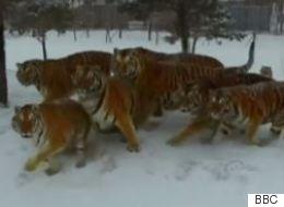 BBC: Τίγρεις στη Σιβηρία όπως τις κατέγραψε drone