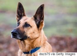 Des chiens renifleurs de cancer efficaces à 100 %