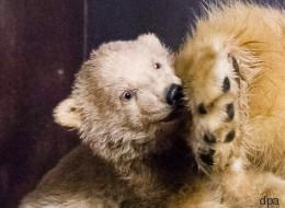 Das Berliner Eisbär-Baby Fritz ist tot