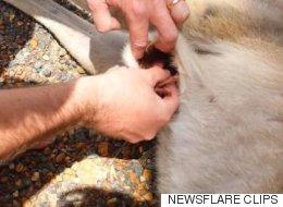 Un couple retire un bébé kangourou de la poche de sa mère tuée par une voiture