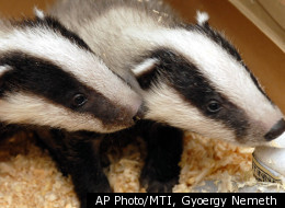 Grave-Robbing Badgers Dig Up British Cemetery