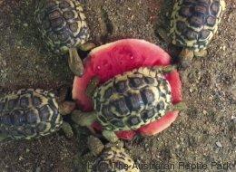 Cette tortue ne veut vraiment pas partager sa pastèque