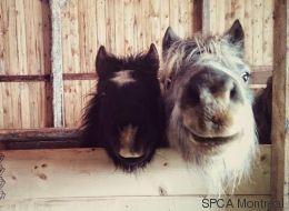 Vous avez toujours rêvé d'avoir un poney? Vous pourriez en adopter un!