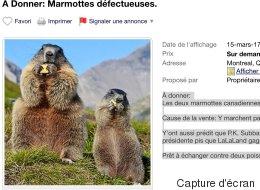 Les marmottes qui ont prédit un printemps hâtif sont en vente sur Kijiji