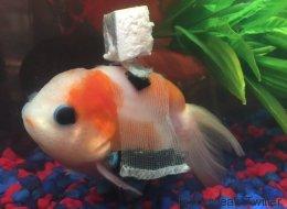 Ce poisson rouge souffrant a une «chaise roulante» pour nager