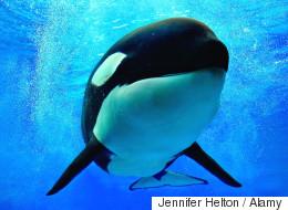 16년 만에 동해서 '범고래 母子' 발견됐다(사진)