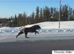 N.W.T. Driver Stunned When Massive Black Wolves Appear For Daylight Chase