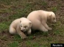 Dutch Polar Bear Twins