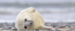SEAL PUP HUNT