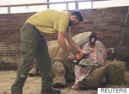 체코 동물원이 코뿔소의 뿔을 절단하고 있다