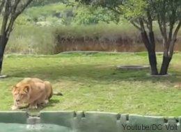 Voyez une lionne tenter d'attaquer des touristes dans un zoo