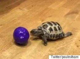 거북이(꽤 빠른)의 공놀이 모습보다 더 재미있는 건 없다