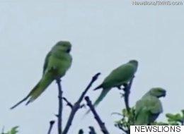 인도의 야생 앵무새들이 양귀비밭을 공격하고 있다(동영상)