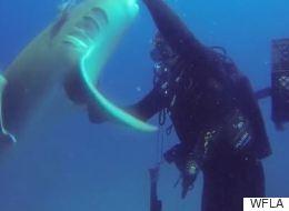 Καρχαρίας...ζητά βοήθεια από δύτη για να ξεκαρφώσει αγκίστρι που είχε πάνω του