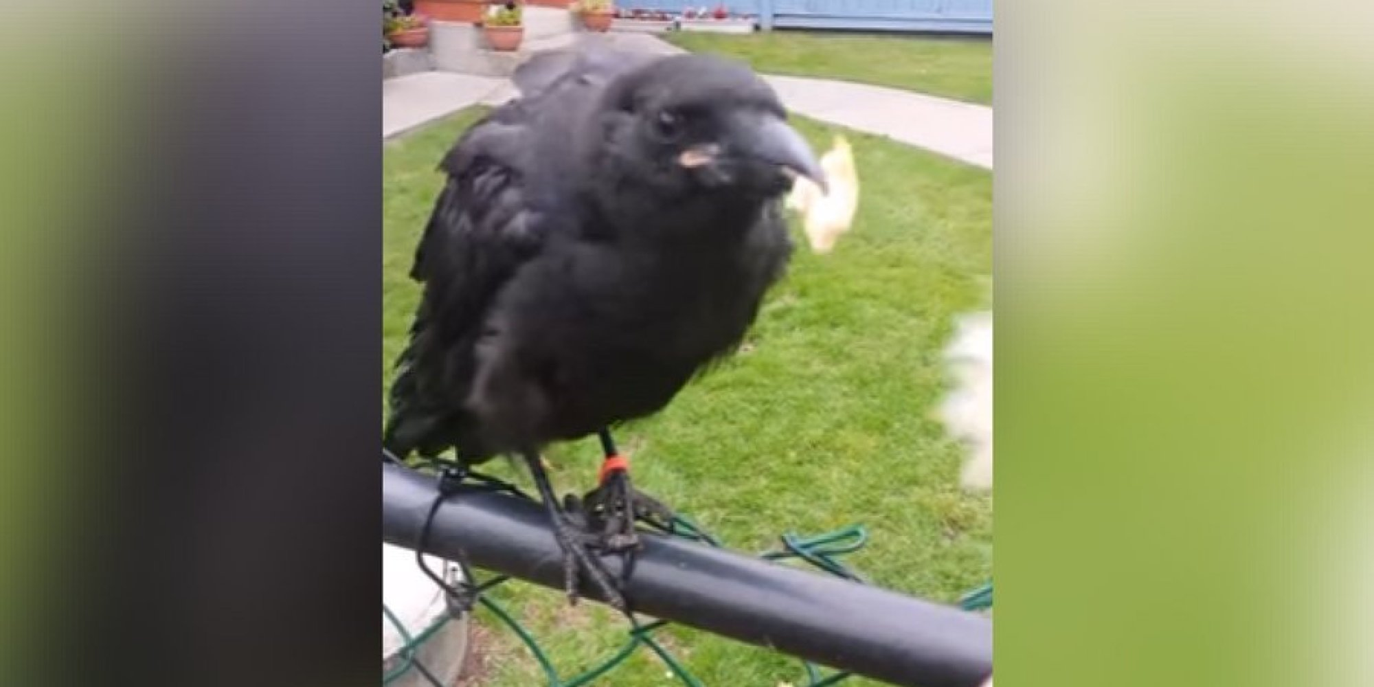 canuck the crow attacked in vancouver says his caretaker. Black Bedroom Furniture Sets. Home Design Ideas