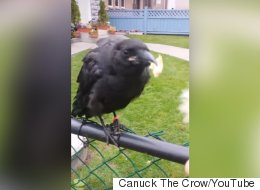 Famous Vancouver Crow In Bird Hospital After Alleged Attack