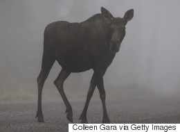 Alberta Wildlife Officers Killed 'Very Calm' Mother Moose: Witnesses