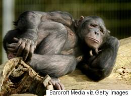 Un chimpanzé jette ses excréments sur les visiteurs et vise en plein dans le mille