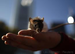 Großmutter kaufte ihrem zehnjährigen Enkel eine Ratte - nur zwei Wochen später ist der Junge tot