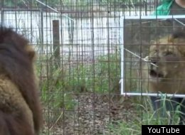 Big Cats React To Reflections