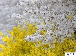 개나리와 벚꽃이 함께 피는 '봄꽃 대혼란'의 배경