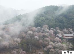 벚꽃 3만 그루가 빚어내는 핑크빛 파라다이스! 일본 요시노야마