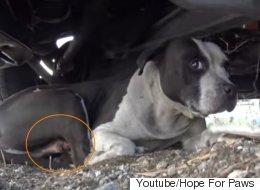상처 입은 핏불을 구해주기 위한 봉사자의 구애(영상)