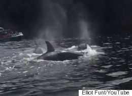 Orcas Put On The Ultimate Show For B.C. Boaters