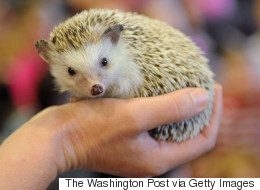 10-Year-Old Takes Her Fight To Own A Pet Hedgehog To City Council