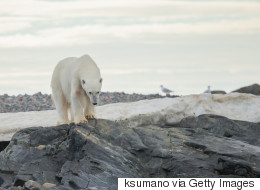 Polar Bears Added To International List Of At-Risk Species
