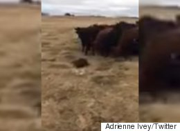 Beaver Takes A Stroll, Ends Up Leading Cattle On Saskatchewan Farm
