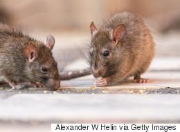New York s'apprête à tester une pilule contraceptive pour les rats