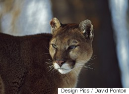 Cougar Snatches Dog From Sleeping Child's Room