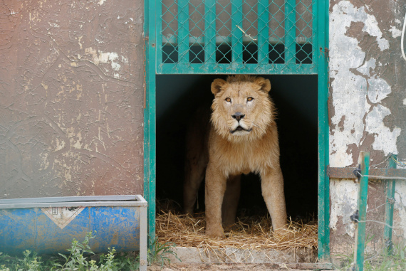 lion jordan