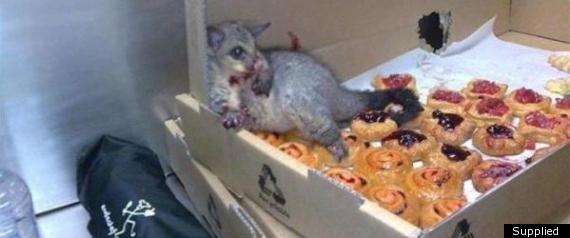 Possum In The Pastries Viral Image Shows Greedy Marsupial