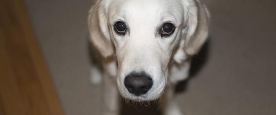 GUILTY DOG RETRIEVER