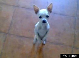 chihuahua dancing salsa animal photos of the week pictures videos breaking news 3922