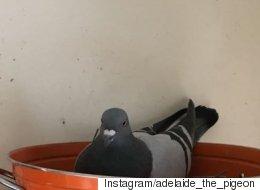 비둘기가 예상치 못한 물건에 둥지를 트다(사진)