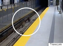 Video: Cougars Trigger Alarm On SkyTrain Tracks