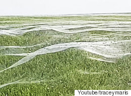수천 마리의 거미가 '거미줄 파도'를 만들었다