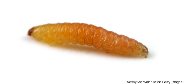 Cette larve est un nouvel espoir pour sauver l'environnement