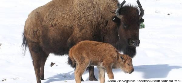 Des bisons sont nés à Banff pour la première fois en 140 ans