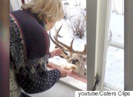 이 사슴은 하루에 2번씩 할머니를 찾아온다(동영상)
